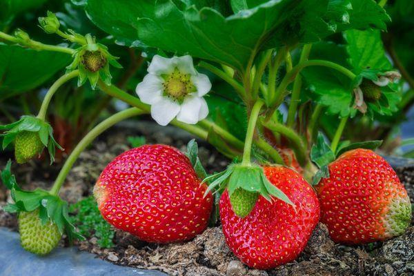 плоды клубники Остара