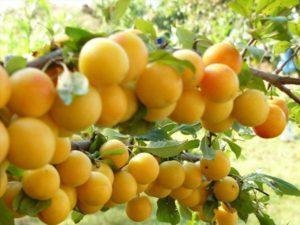 Описание алычи сорта Злато Скифов, выращивание и опылители