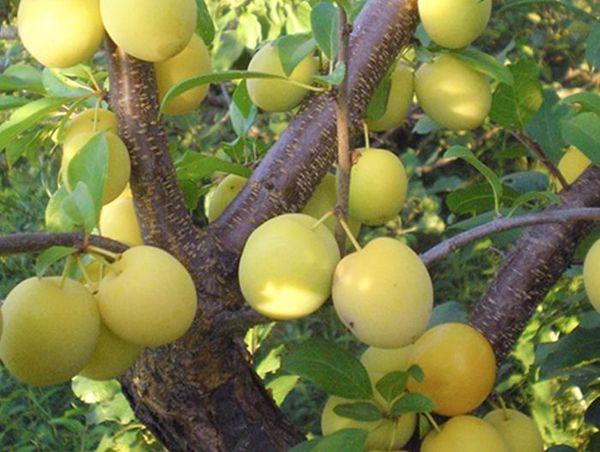 дерево алычи
