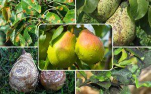 Описание и признаки парши на груше, как лечить и средства для обработки