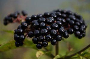 Посадка и уход за черной бузиной в открытом грунте, методы размножения