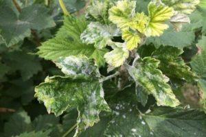 Причины и лечение белого налета на листьях смородины, чем обработать и как бороться