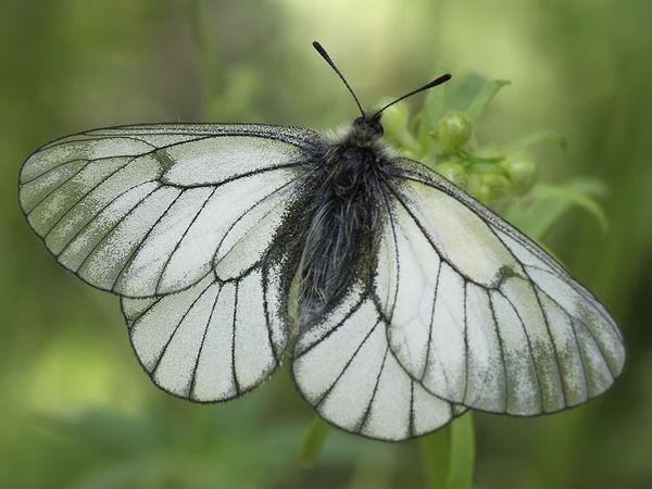 Боярышница, бабочка