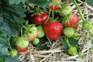 Сроки и правила подкормки клубники, чем лучше удобрить для хорошего урожая