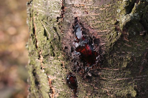 гоммоз на дереве