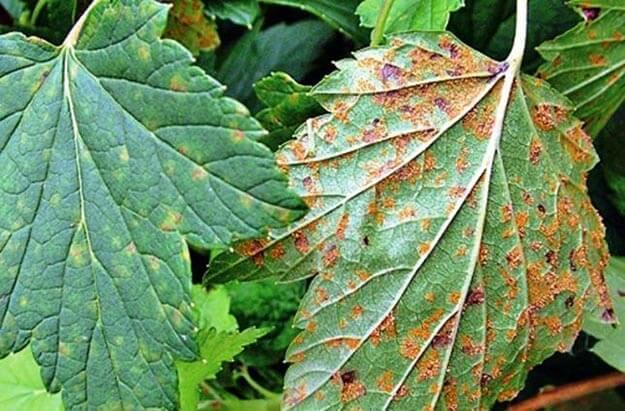 болезни листочков смородины
