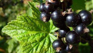 Полезные свойства и противопоказания черной смородины для организма