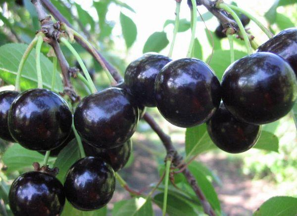 черноплодная вишня