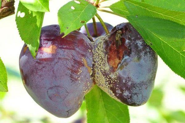 гнилые плоды