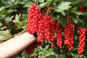 Описание красной смородины сорта Сахарная, особенности посадки и ухода