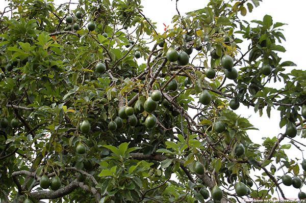 авокадо в саду