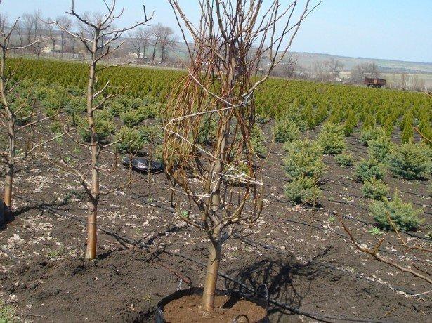 выращивание груш