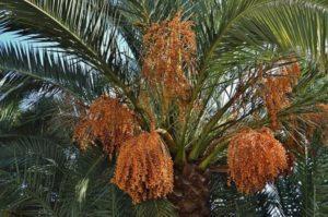 Описание финика сорта Канарский, выращивание из семян в домашних условиях