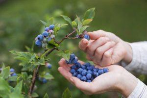 Правила и лучшие способы, как в домашних условиях сохранить ягоды голубики на зиму