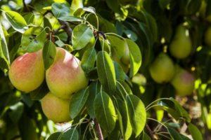 Описание и полная характеристика груши сорта Чижовская, уход и выращивание
