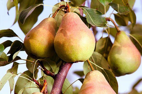 плоды груши