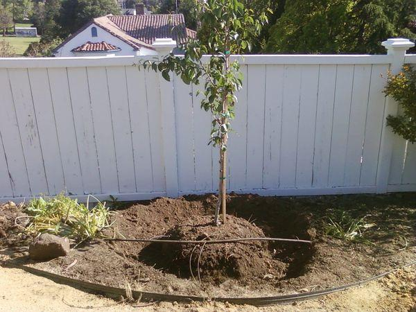 молодое дерево