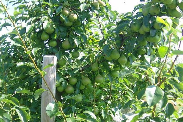 выращивание груши Просто Мария