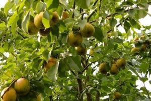 Что делать, если на листьях груши желтые пятна, причины и лечение