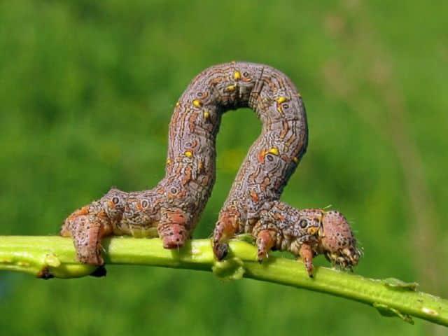 гусеницы пухоспинки