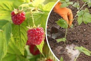 Чем лучше подкормить малину во время созревания ягод и после сбора урожая