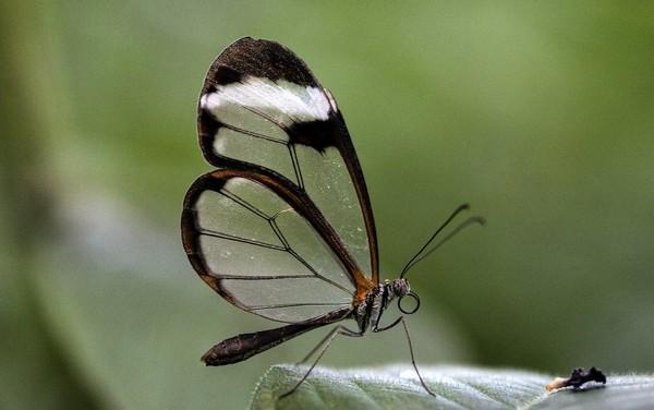бабочка стекляшка