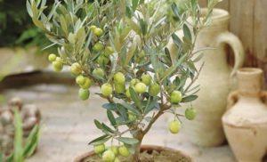 Правила ухода за оливой в домашних условиях, выращивание и размножение
