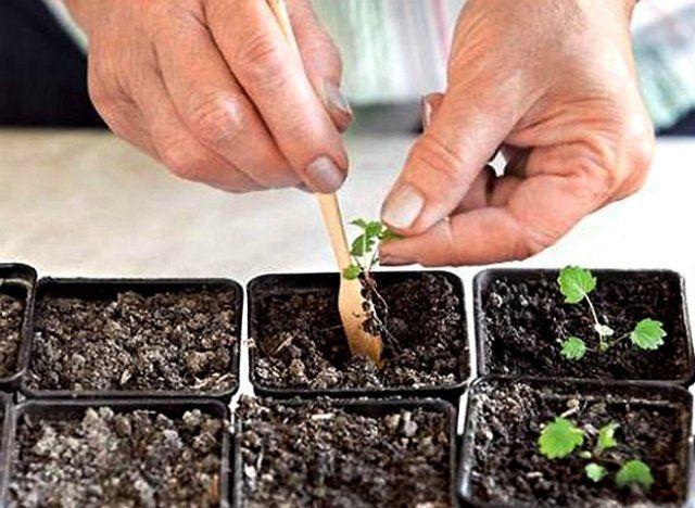 клубника из семян