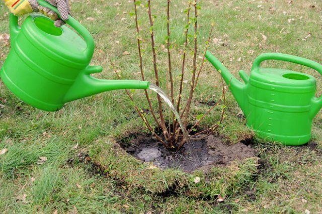 полив кустов смородины