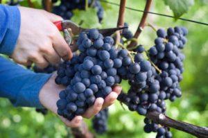 Как и чем лучше обработать виноград от болезней и вредителей в июле
