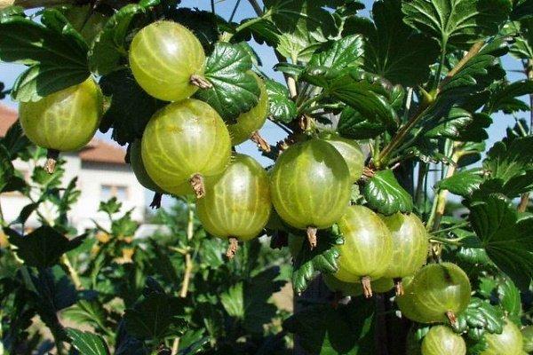 большие ягоды