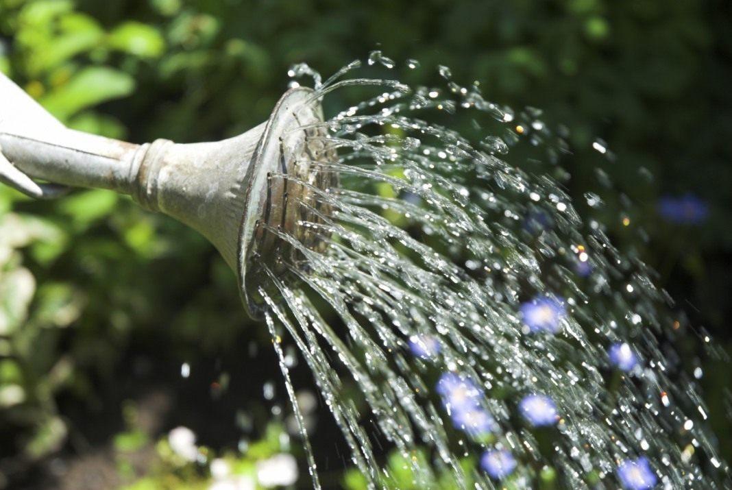 полив бузины