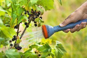 Частота и правила полива смородины, выбор сроков и агротехника