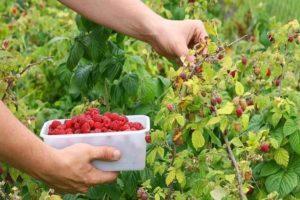 Как правильно и быстро собирать малину, сроки сбора урожая