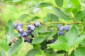 Как можно вырастить чернику в открытом грунте, посадка и уход