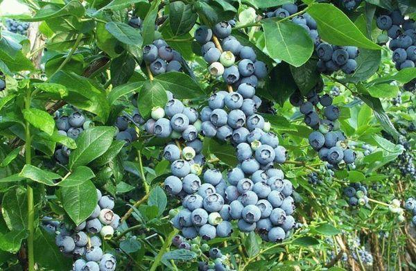 ягоды на участке