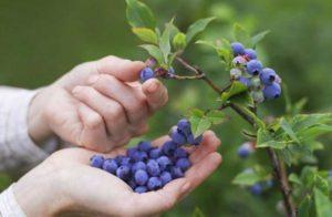 Как можно посадить и вырастить голубику из семян в домашних условиях
