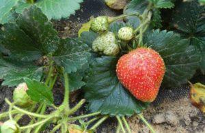 Как в домашних условиях вырастить клубнику из семян на рассаду для начинающих