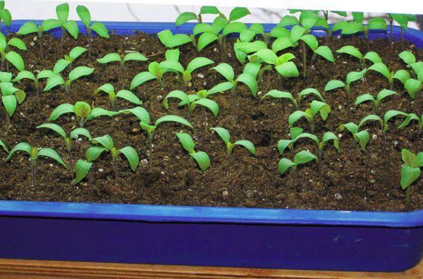 выращивание из семян малины