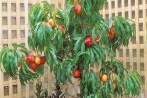 Лучшие сорта и как правильно выращивать нектарин, посадка и уход