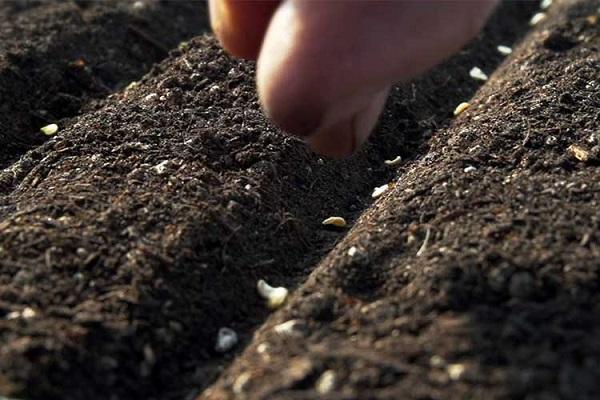 семена смородины