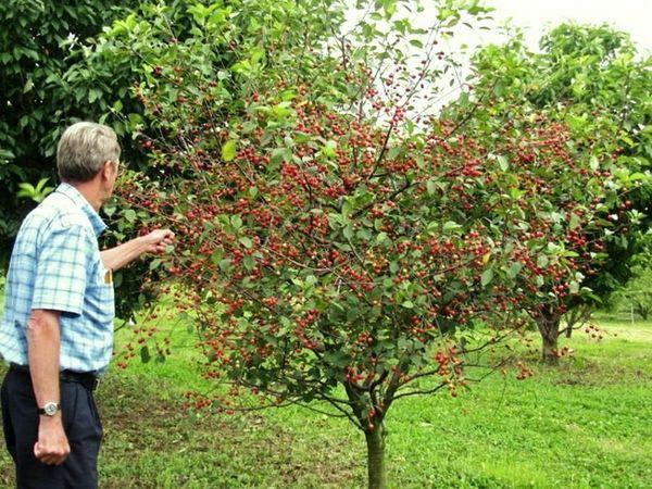 Антрацитовая вишня