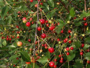 Описание и характеристика 17 карликовых сортов вишни, посадка и уход