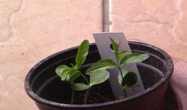 Выращивание зизифуса