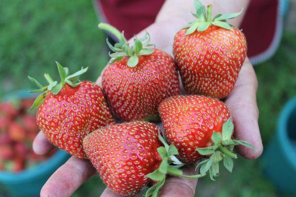 Спелые ягоды