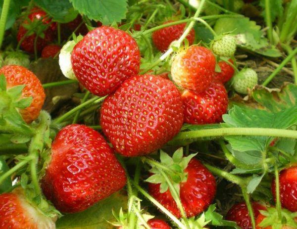 мякоть ягод