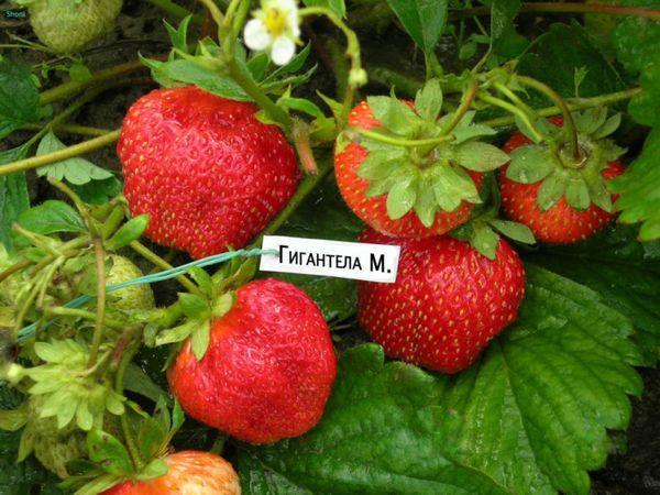 крупная ягода