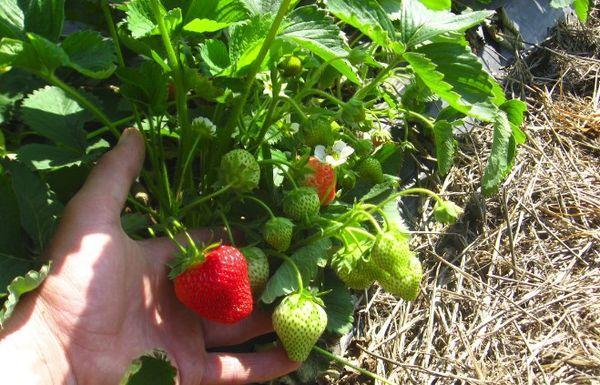 мульчирование ягод
