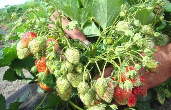 Цветение и плодоношение