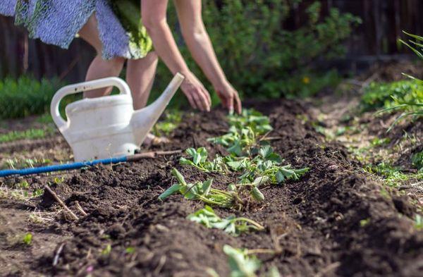 полив земляники
